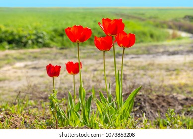 six red tulip flowers with long stems at the edge of a green field in the countryside with a stream running through it.