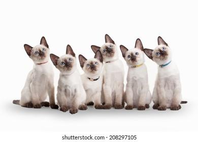 six small thai kittens on white background
