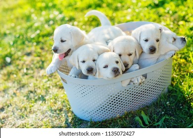 six small white puppies are sitting in a basket in the middle of the lawn
