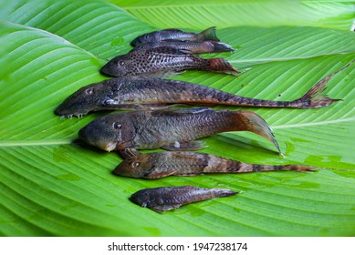 six-species-armored-catfish-placed-260nw