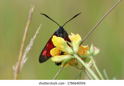 Six spot burnet drink nectar