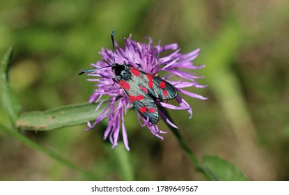 Six spot burnet on a flower