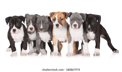 six staffordshire terrier puppies together