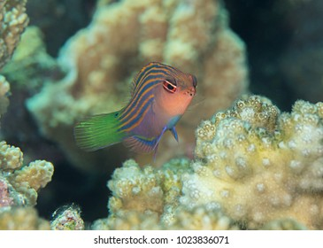 Six stripe wrasse ( pseudocheilinus hexataenia ) swimming over coral reef of Bali, Indonesia