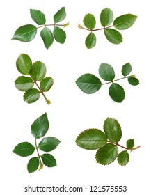 six views of rose leaves isolated on white background