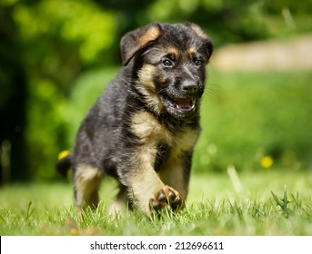 Six week old pedigree german shepherd puppy outdoors on a sunny day.