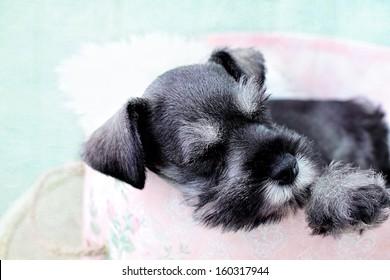 Six week old salt and pepper Mini Schnauzer falling asleep inside of a pink hat box.