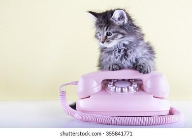 Six weeks old kitten using an pink vintage telephone