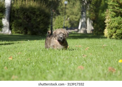 A six weeks old norfolk terrier puppy in a park.