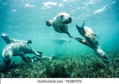 Six young sea lions at play, Jurien Bay, Western Australia