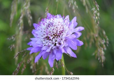 Sixalix - Scabiosa atropurpurea wild flower in summer (Spain)