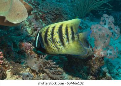 Six-banded Angelfish (Pomacanthus sexstriatus)