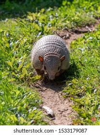 Six-banded armadillo Walking down a Dirt Track