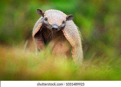 Six-Banded Armadillo, Yellow Armadillo, Euphractus sexcinctus, Pantanal, Brazil. Wildlife scene from nature. Funny portrait of Armadillo, face portrait, hidden in grass.  Brazilian cute animal.