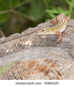 Six-lined Racerunner whiptail camouflaged on a tree stump