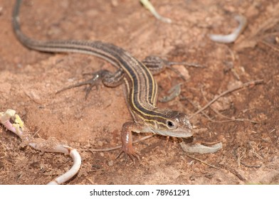 Six-lined Racerunner whiptail  in its natural environment