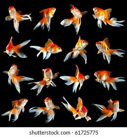 sixteen goldfishs  isolated on a dark black background