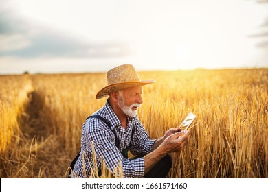 Sixty years old agronomist inspecting wheat field and using tablet computer.