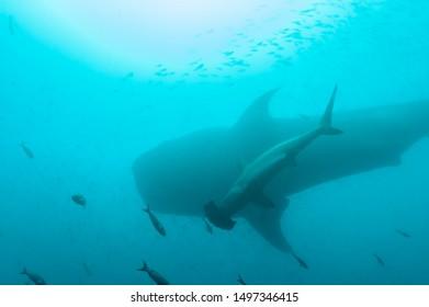 size comparison between whale shark and hammerhead shark
