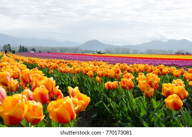 Skagit County Tulip Festival, Washington State