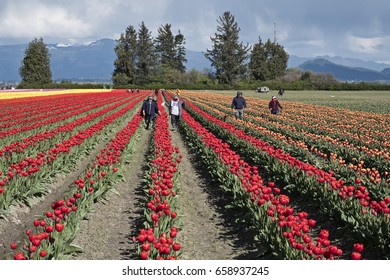 SKAGIT VALLEY, UNITED STATES - APRIL 15, 2017: A group of farm workers walk through the rows of a field of tulips during the annual Skagit Valley Tulip Festival.