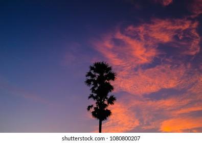 skay and sugar palm