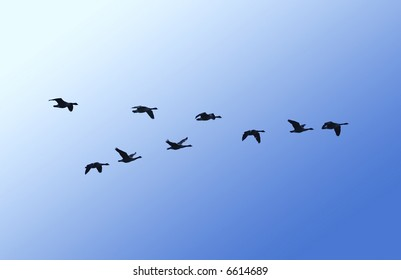 A skein of canada geese in flight