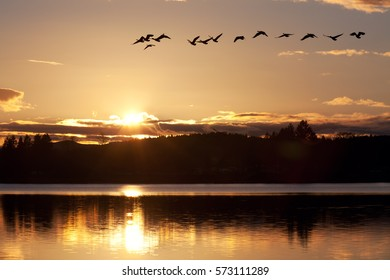 A skein of geese flies over a wildlife reserve at sunset in the Willamette Valley of Oregon.