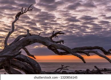 Skeletal Remains of Trees on Driftwood Beach - Jekyll Island, Georgia