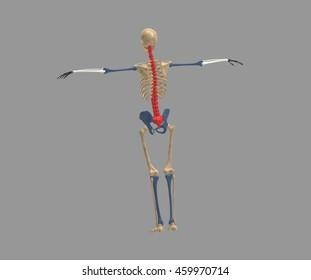 skeleton 3d rendering