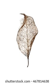 Skeleton of aged holly leaf with no background/Single leaf skeleton with no background