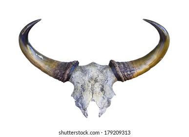 skeleton of Banteng head