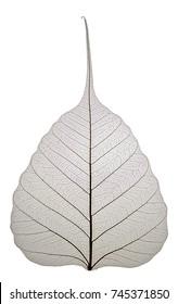 Skeleton Bodhi Tree Leaf isolated