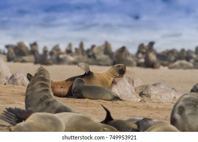 Skeleton coast – Namibia/ July, 2017: monk seal mother nursing her cub at the seals colony of Cape Cross.