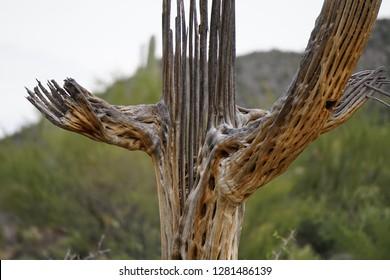Skeleton of a dead saguaro in Saguaro National Park, Tucson, Arizona.