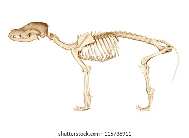 Skeleton of dog on isolated white background