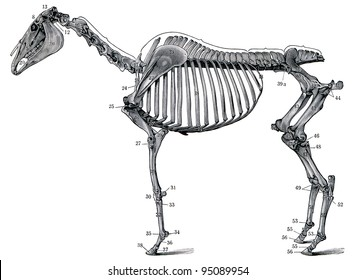 "The skeleton of a horse. Publication of the book ""Meyers Konversations-Lexikon"", Volume 7, Leipzig, Germany, 1910"