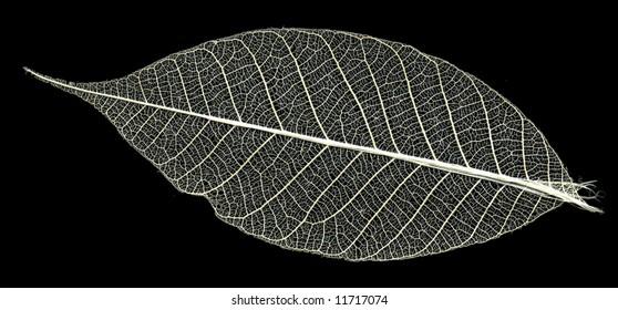 skeleton of the leaf