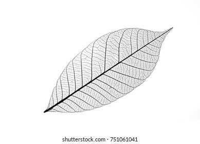 Skeleton of leaf isolated on a white background