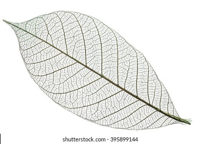 Skeleton of leaf on a white background.