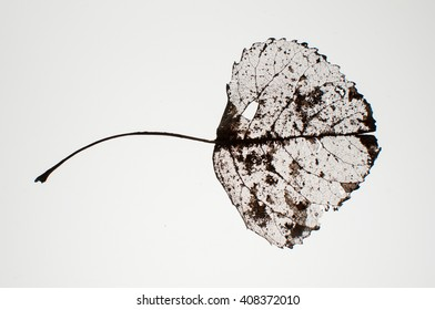 Skeleton leaf on white background, closeup.