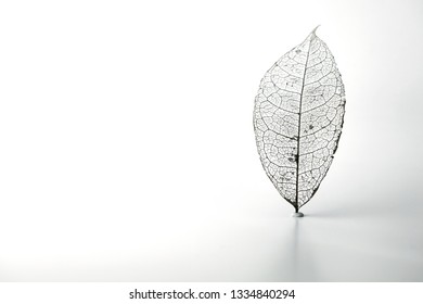 Skeleton leaf, standing, isolated on white. A Naturally created skeleton leaf (found in nature) isolated on white.