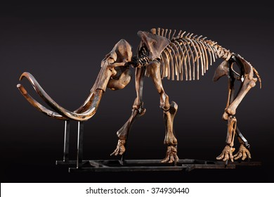 The skeleton of a mammoth on a dark background