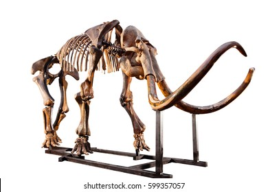 The skeleton of a mammoth on white