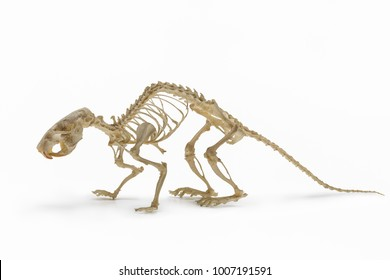 Skeleton of rat on white background, an allowance for rodent zoology.