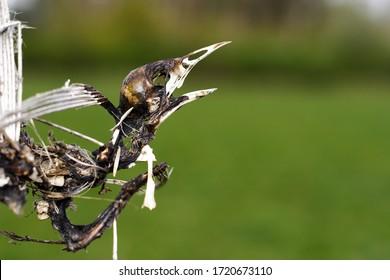 Skeleton of a singing bird