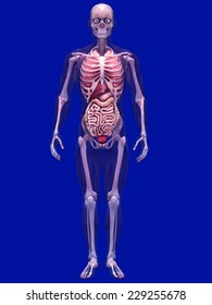 Skeleton X-Ray with Muscles and Internal Organs - X-Ray of a male skeleton with internal organs and muscles showing. 0 Degree Pose