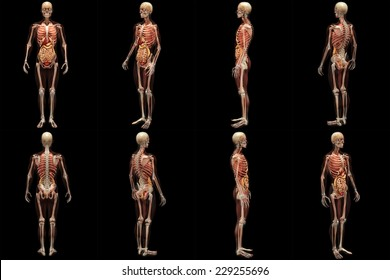 Skeleton X-Ray with Muscles and Internal Organs - X-Rays of a male skeleton with internal organs and muscles showing. Full 360 Degree Poses