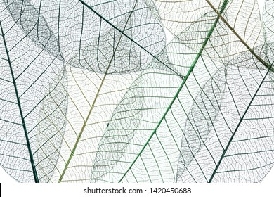 Skeletons of leaves on a white background.