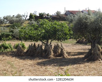Skep hay bailing old fashioned hay collection under a fig tree
